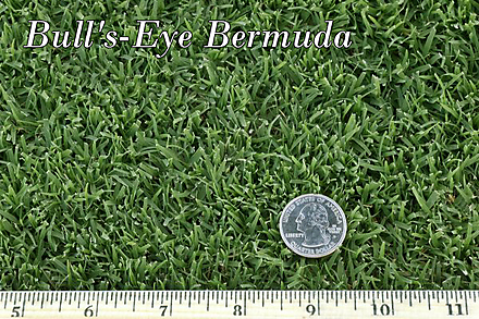 West Coast Turf Bull S Eye Bermuda Grass In Socal