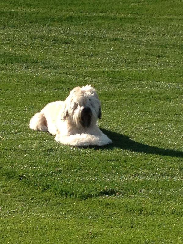 Pets love real natural grass in CA